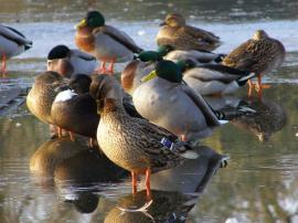Ducks on ice, Cemetery Lake, Southampton Common by Jim Champion. Click for live BBC news!